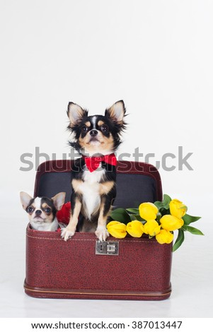 Two chihuahua dogs with yellow flowers  - stock photo