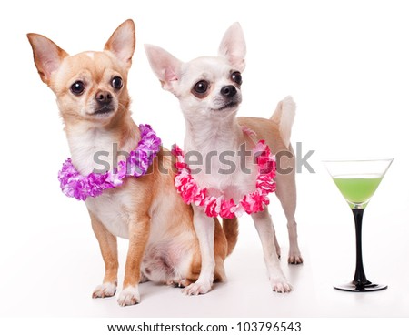 two chihuahua dressed as holidaymakers - stock photo