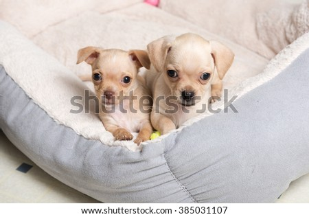 Two Chihuahua Mix Puppies Playing in Dog Bed  - stock photo