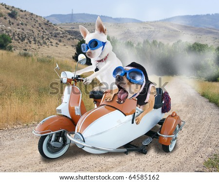 two chihuahuas in a scooter - stock photo