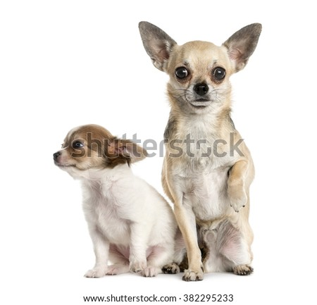 Two Chihuahuas in front of a white background - stock photo