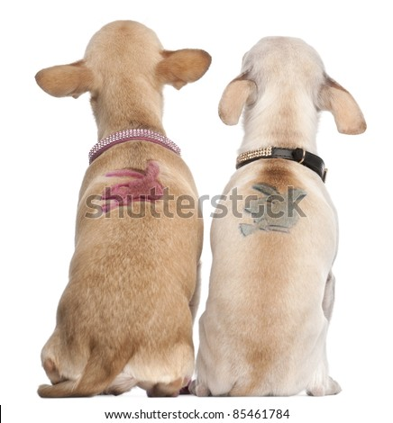 Two Chihuahuas with Playboy bunny on backs, 2 years old and 11 months old, sitting in front of white background - stock photo