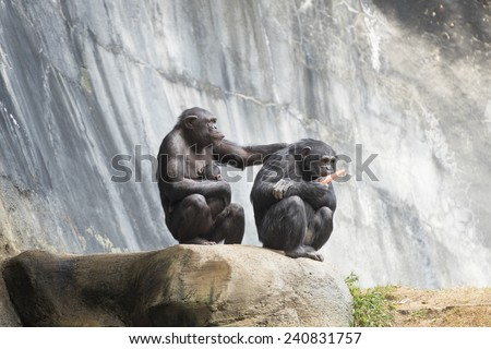 Two Chimpanzees and and a newborn - stock photo