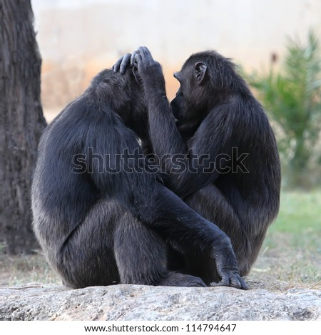 Two chimpanzees holding each other - stock photo