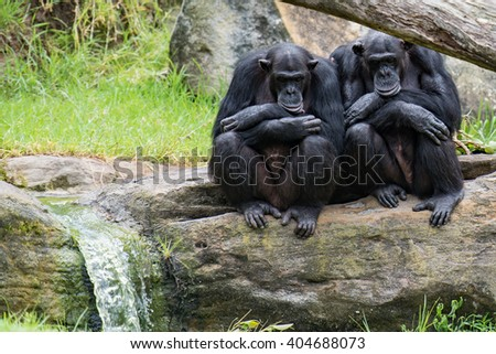Two Chimps On A Rock - stock photo
