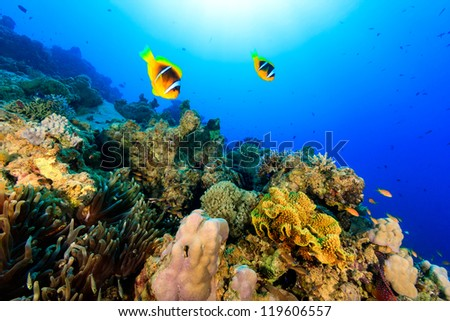 Two clownfish swiming over a tropical coral reef - stock photo