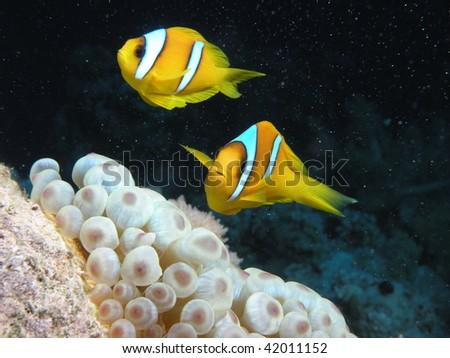 two clownfish swimming above anemone - stock photo