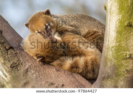 Two coatimundis are sleeping in a tree - stock photo