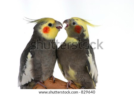 Two Cockatiels - stock photo