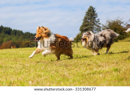 two Collie dogs running on the meadow - stock photo