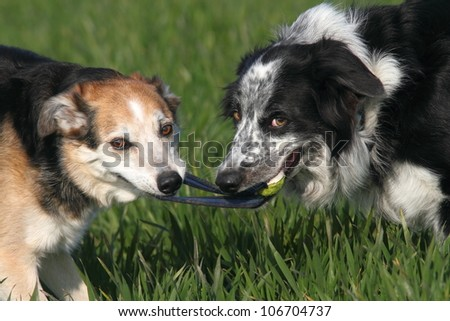 Two collie type dogs playing tug of war with a ball. - stock photo