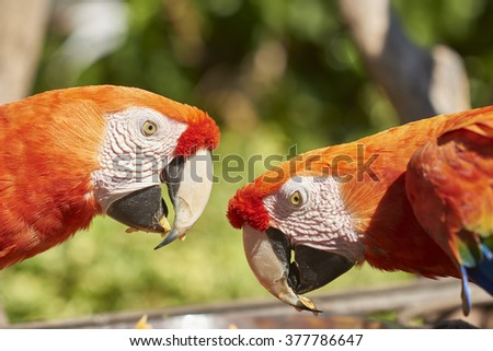 Two Colorful Ara Parrots - stock photo