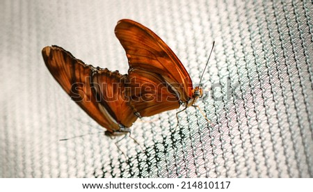 Two colorful Julia Heliconian Dryas Julia butterfly mating. - stock photo
