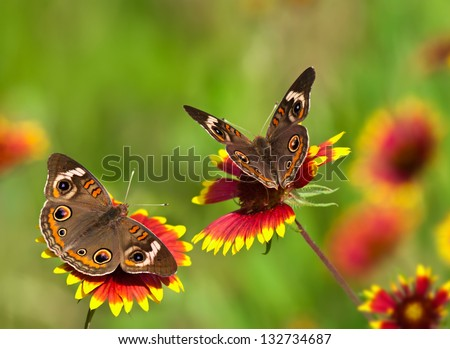 Two Common Buckeye butterflies (Junonia coenia) feeding on colorful Indian Blanket (Gaillardia pulchella) wildflowers. Natural green background. - stock photo