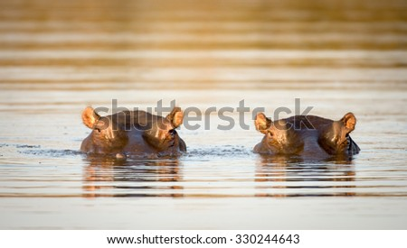 Two common hippopotamus in the water at a watering hole in Kruger National Park, South Africa - stock photo