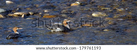Two Common Mergansers in winter plumage swim in Idaho's Salmon River - stock photo