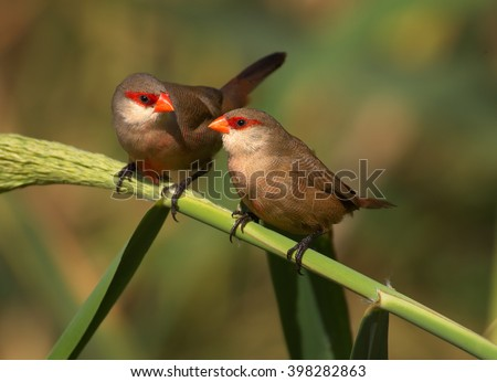 Two Common Waxbills, Estrilda astrild, pair of small colorful african birds with red beak and red eye stripe in mating season, perched on a green reed stem against blurred background. Madeira Island. - stock photo