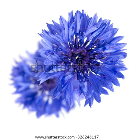 Two cornflowers close-up isolated over white background. - stock photo