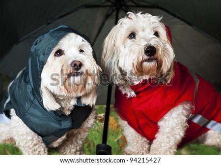 Two coton de tulear dogs in raincoats under umbrella - stock photo