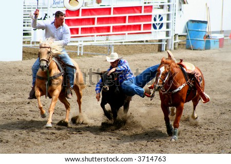 two cowboys wrestling a steer - stock photo