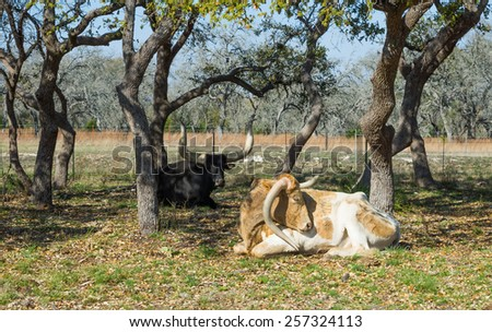 Two cows breed Texas Longhorn, one with a broken horn rest in the shade of trees - stock photo