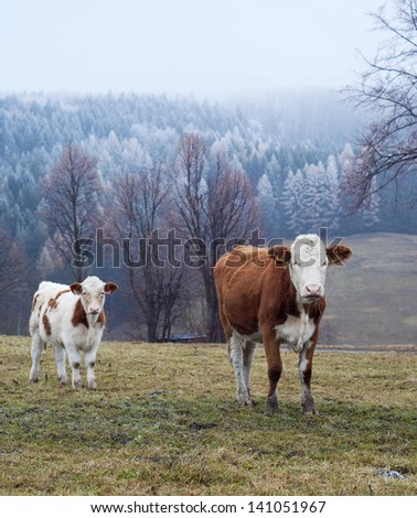Two cows, cow and calf, grazing on a field in winter; frosty landscape in the background. - stock photo