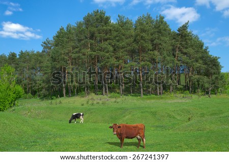 Two cows grazing on a lush, green meadow in early spring. - stock photo