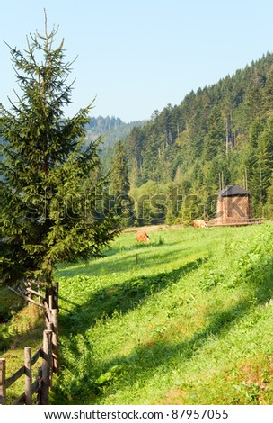 Two cows grazing on summer morning meadow (Carpathian, Ukraine) - stock photo
