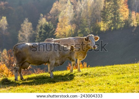 Two cows in a beautiful autumn afternoon - stock photo