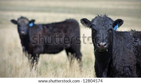 Two cows in a field in Montana - stock photo