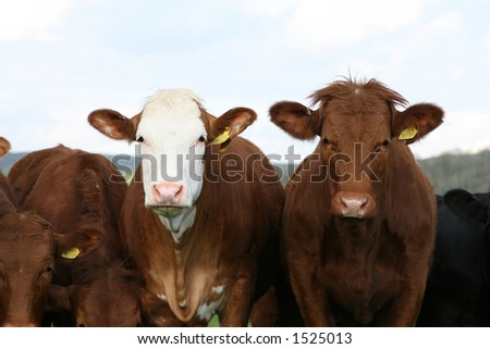 Two cows in the farmers field, with copy space - stock photo