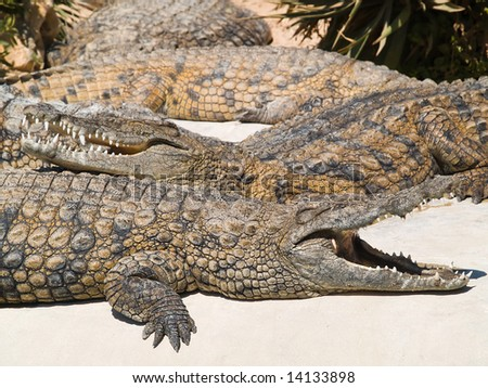 Two crocodiles in the zoo - stock photo