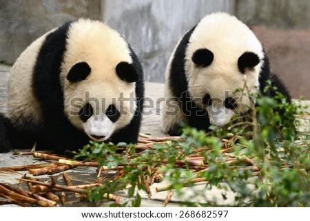 Two cub of Giant panda bear eating bamboo Chengdu, China - stock photo