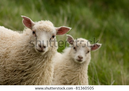 Two curious lambs looking at camera - stock photo