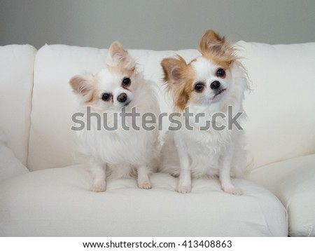 Two curious puppies tilting their heads on white sofa - stock photo