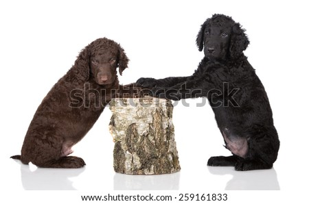 two curly coated retriever puppies - stock photo