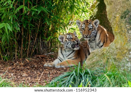 Two Cute Amur Tiger Cubs in Rocky Shelter Panthera tigris altaic - stock photo