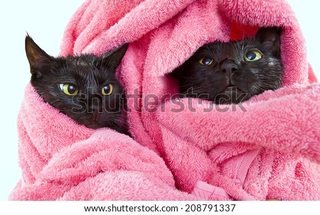Two Cute black soggy cats after a bath drying off with a towel  - stock photo