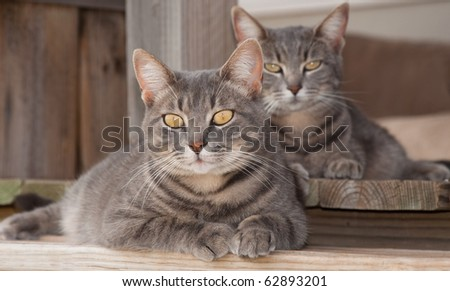 Two cute blue tabby cats resting on porch - stock photo