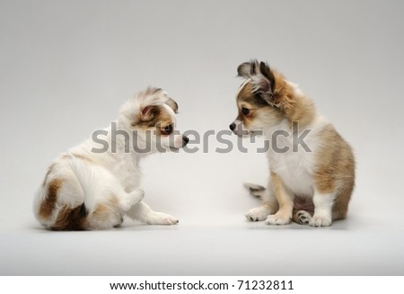 two cute chihuahua puppies sitting on a neutral background - stock photo