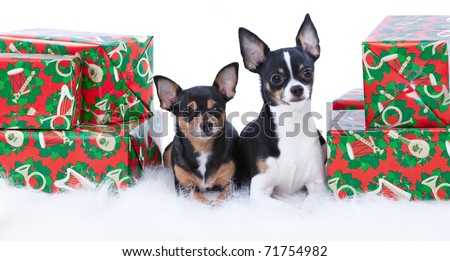 Two cute Chihuahuas sitting on a white fur rug with Christmas presents. - stock photo