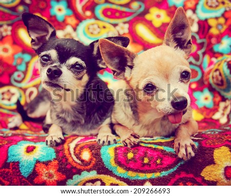 two cute chihuahuas toned with a retro vintage instagram filter - stock photo