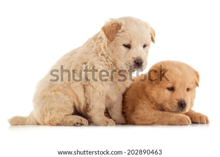 Two cute Chow-chow puppies,  isolated over white background - stock photo