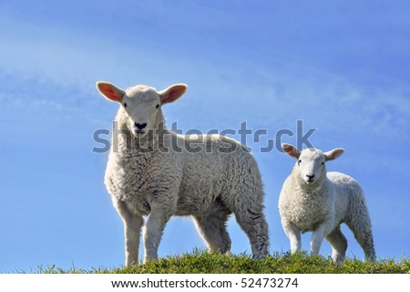 Two Cute Curious Lambs Looking at the Camera on a green grass field with a blue sky in Spring - stock photo