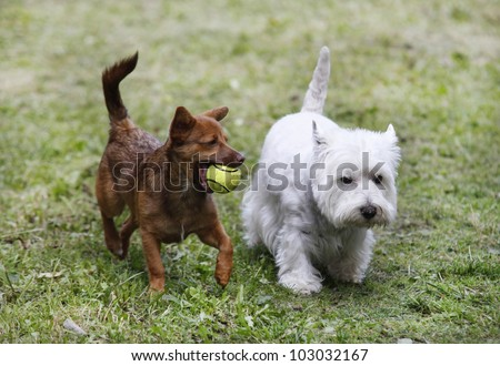 Two cute doggies playing with a ball - outdoor scene - stock photo
