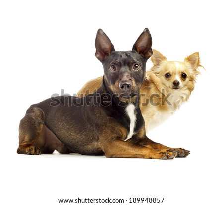 two cute dogs sitting by each other looking cute in to the camera on a white background with a soft shadow - stock photo