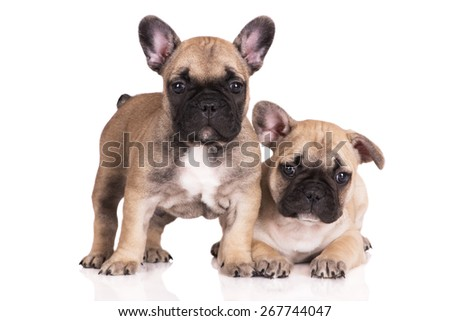 two cute french bulldog puppies - stock photo