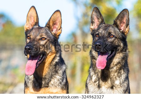 Two cute german shepherd dogs looking into the distance to the left - stock photo