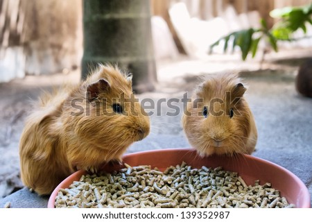 Two cute guinea pigs are having meal. Shot in South Africa.  - stock photo