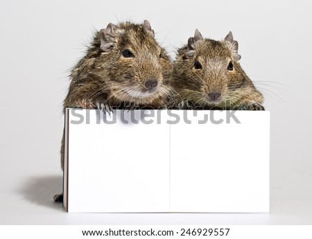 two cute hamsters standing with blank poster in paws closeup on white background - stock photo